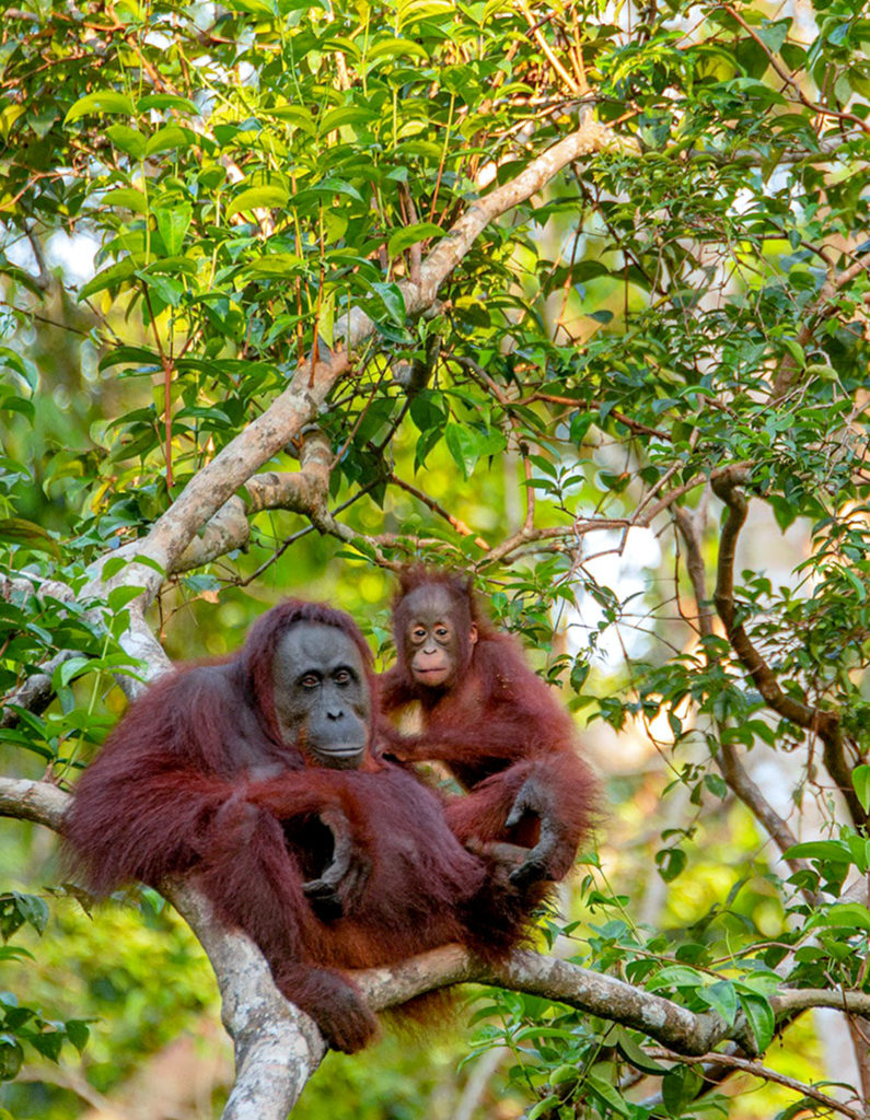Orang utan with child in tree